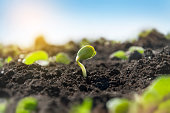 istock Delicate tiny sprout of a soybean plant on an agricultural field. The plant reaches for the sun in the morning rays. 1227428373