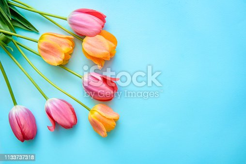 Delicate pink and orange tulips on blue background with copy space