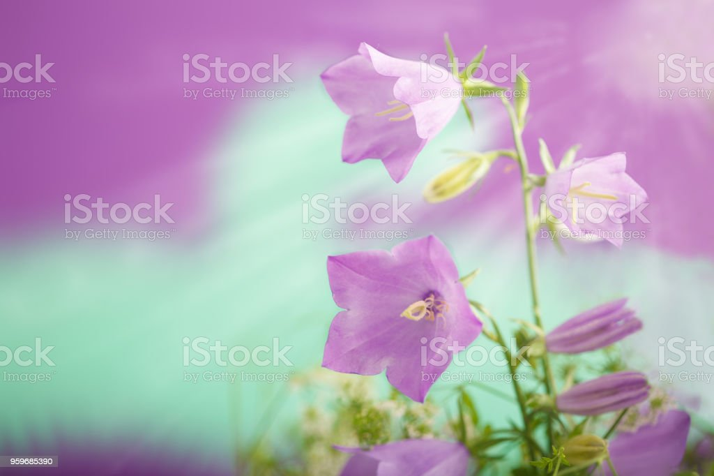 Delicate Violet-blue flowers Campanula persicifolia (peach-leaved bellflower) stock photo