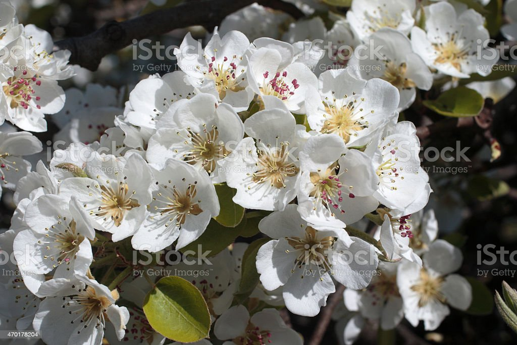 Clustered white apple blossom stock photo