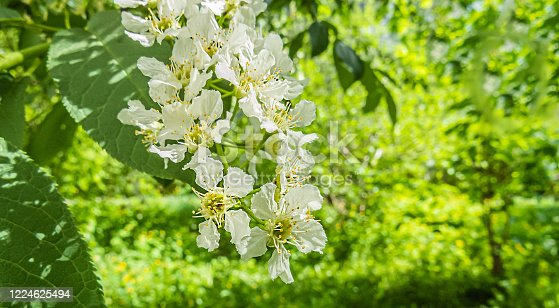678639336 istock photo Delicate white cherry flowers on a blurry green background. 1224625494