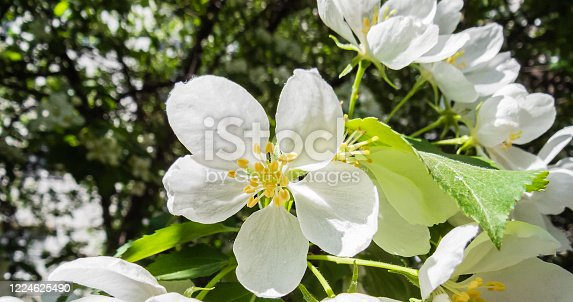 678639336 istock photo Delicate white flower of an apple tree on a blurry green blurry background. 1224625490