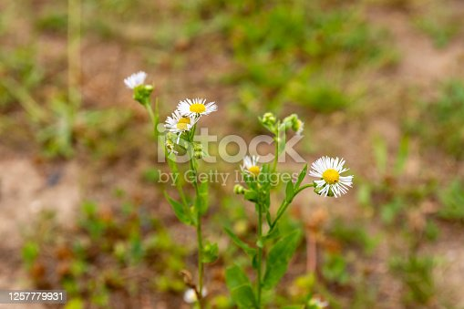 istock Delicate white flowers growing on leafy weeds 1257779931