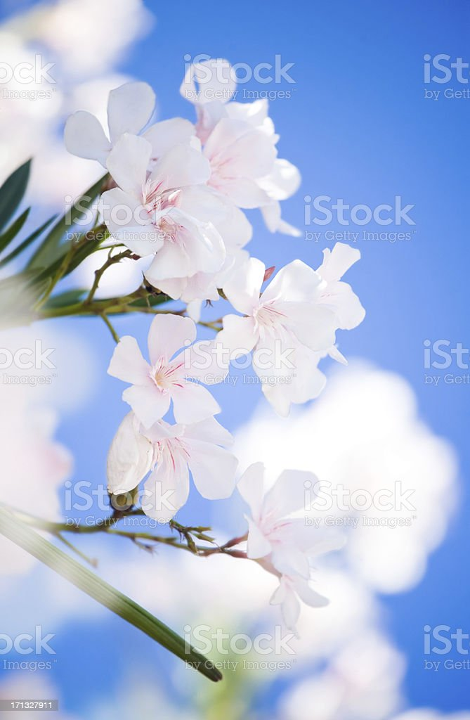 Delicate white flowers in the morning royalty-free stock photo