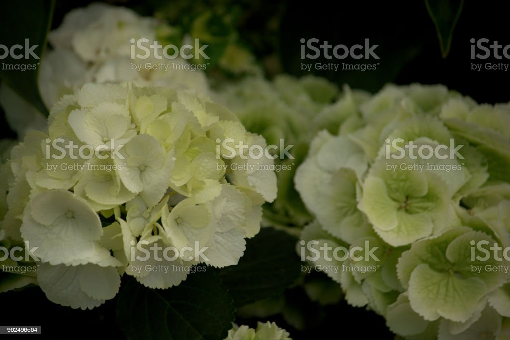 Delicate white hydrangea flowers - Royalty-free Beauty In Nature Stock Photo