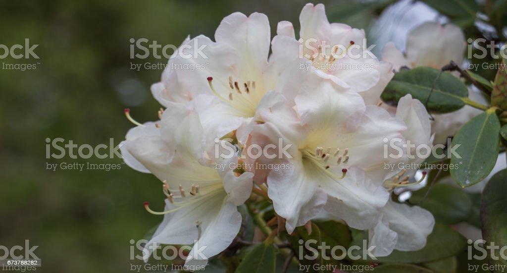 Hassas beyaz ormangülü çiçek royalty-free stock photo