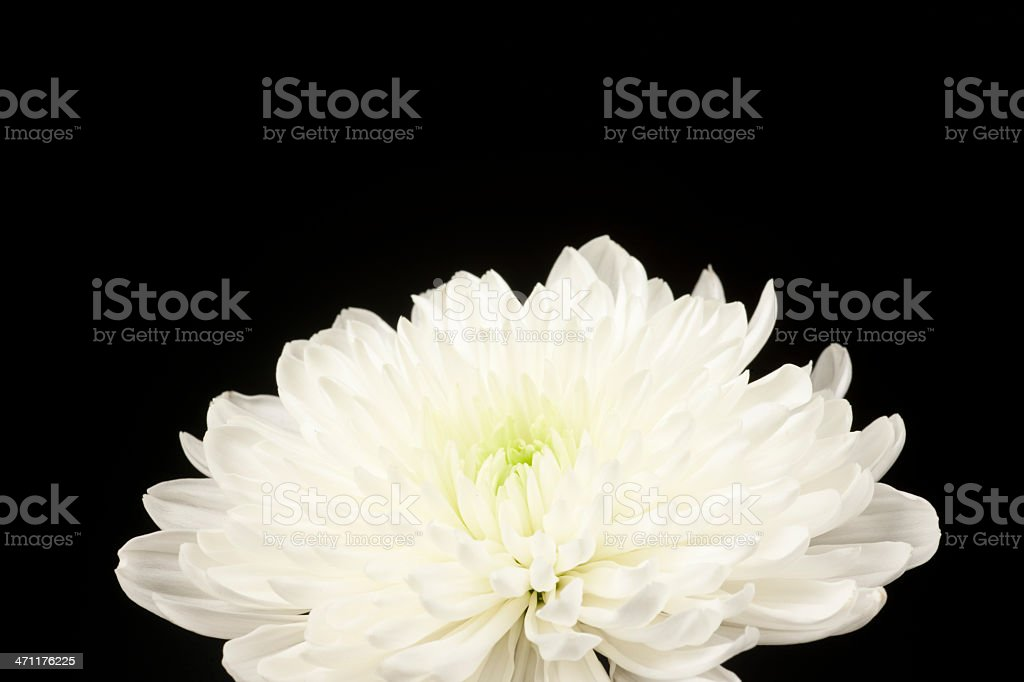 Delicate White Spider Mum, Flower, Petals, Isolated on Black stock photo