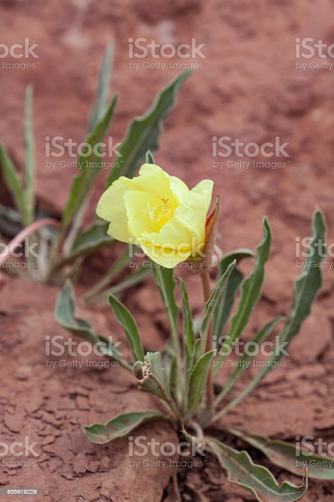 Delicate yellow bloom of the Bronze Evening Primrose is a delight to the eye in its natural red rock habita stock photo