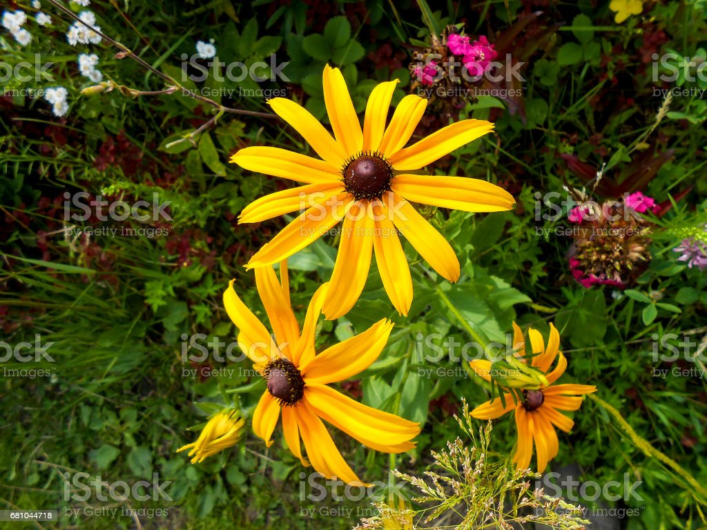delicate yellow flowers and petals in the garden royalty-free stock photo