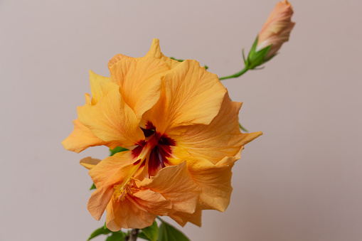 Delicate yellow or peach Chinese rose close up, pistil and stamens, decorative exotic plant bud. High quality photo