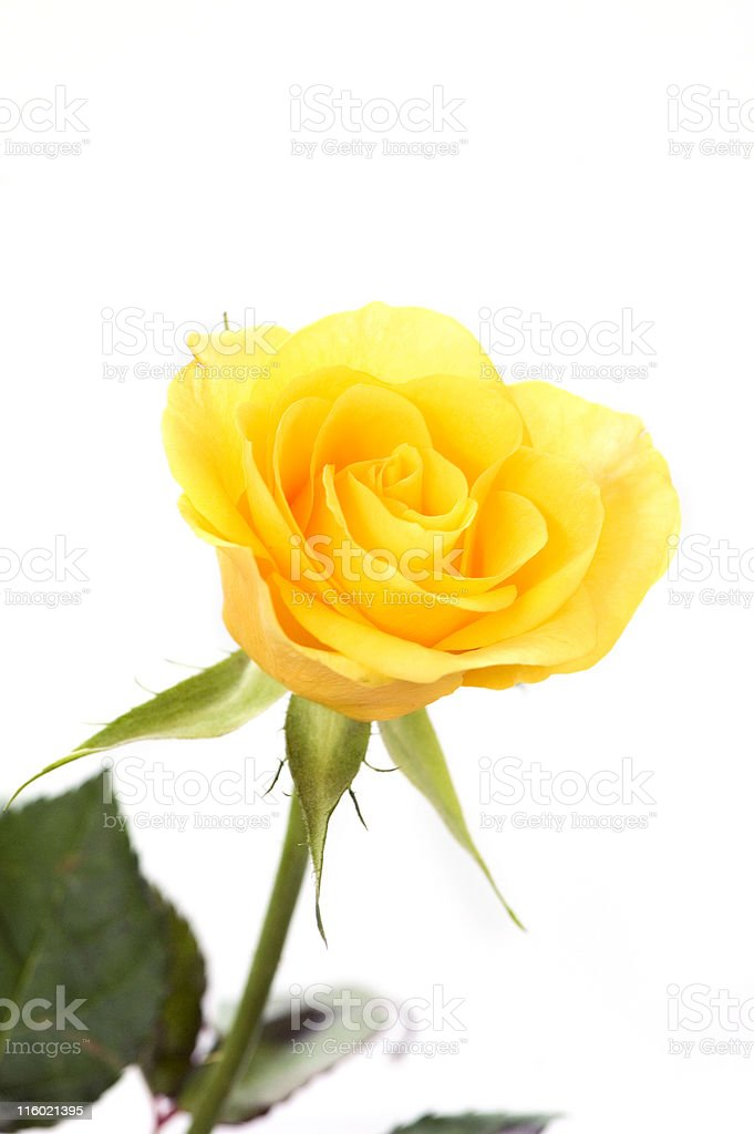 Delicate Yellow Rose royalty-free stock photo
