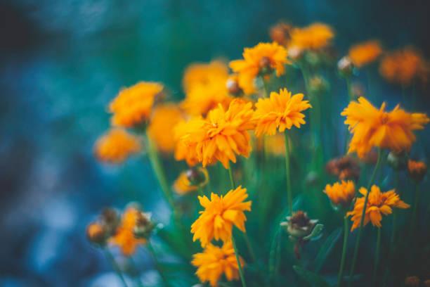 delicate yellow wildflowers with copy space - angiospermas imagens e fotografias de stock