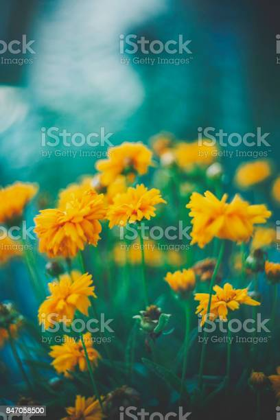 Delicate yellow wildflowers with copy space picture id847058500?b=1&k=6&m=847058500&s=612x612&h=oxvxpa9ddnmauowojkuccxspkgkbkzifhilfjeaubt0=