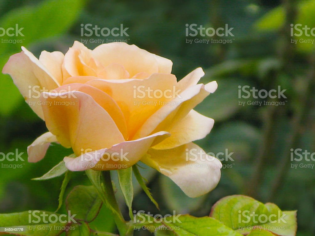 Delicate yellow-pink rose on a green background stock photo