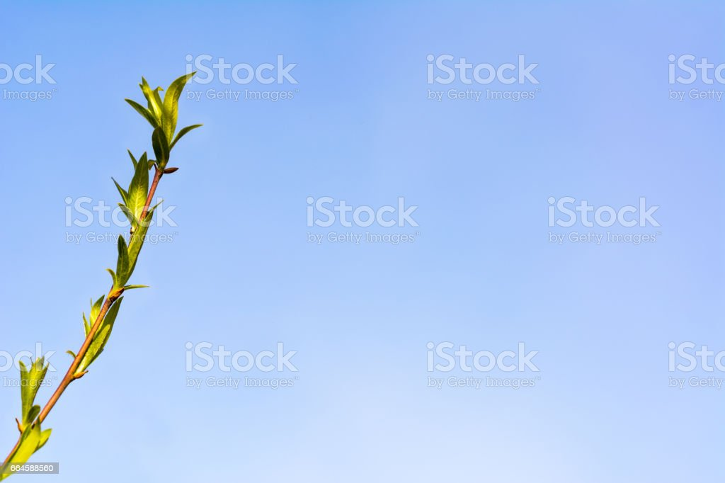 Delicate young willow branch leaves stock photo