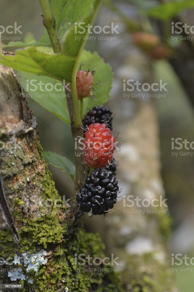 delicious blackberries royalty-free stock photo