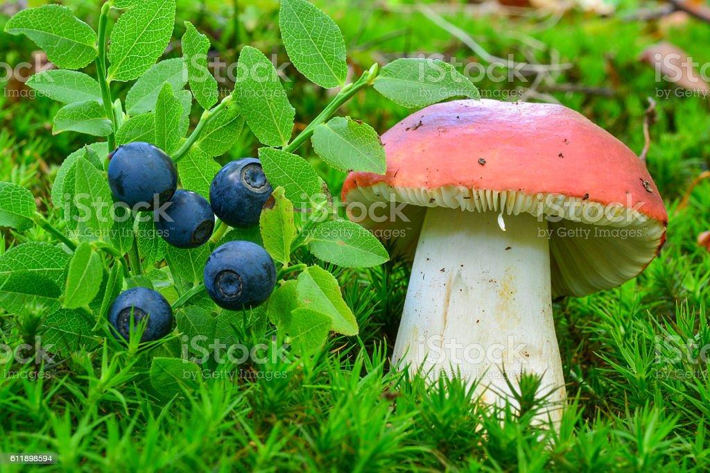 Delicious blueberries and toxic Sickener mushroom stock photo