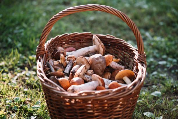 delicious nyplockade svamp från den lokala skogen: kantarell, russule, björk kantarell och gråtande kantarell svamp i en korg på en grönt gräs - höst plocka svamp bildbanksfoton och bilder