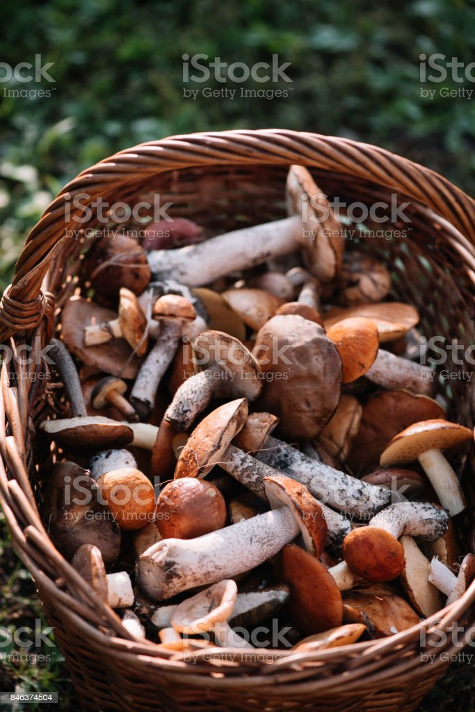 Delicious freshly picked wild mushrooms from the local forest: Bolete, russule, birch bolete and weeping bolete mushrooms in a wicker basket on a green grass stock photo