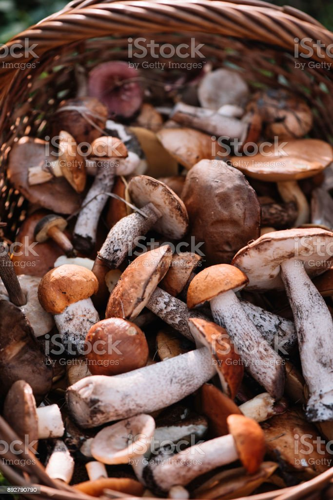 Delicious freshly picked wild mushrooms from the local forest stock photo