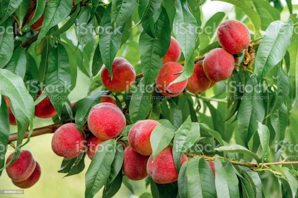Delicious juicy peaches growing on the tree in the garden stock photo