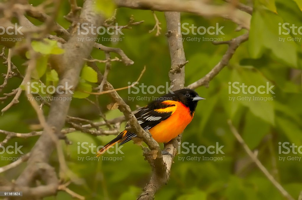 Delicious Male Baltimore Oriole stock photo
