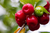 delicious red cherries on the tree after the rain with drops on the fruits and blurred background