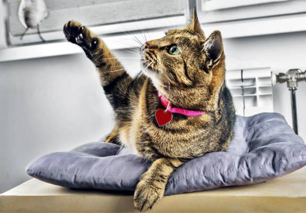 Delightful bengal cat lies on a soft pillow and plays with a toy picture id889054938?b=1&k=6&m=889054938&s=612x612&w=0&h=gss9qc75oyorq3xucivqdvviwt2n0r3kcmcmhmmslkw=