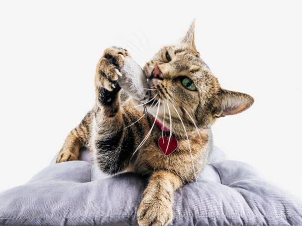 Delightful bengal cat lies on a soft pillow and plays with a toy picture id889055020?b=1&k=6&m=889055020&s=612x612&w=0&h=xiofjocqk7fpfekq1v9kvr02kukxllkowpustj6itvs=