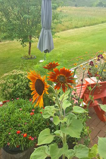 Close up looking down on patio garden.  Sunflowers,strawflowers, sweetpeas and sedum.