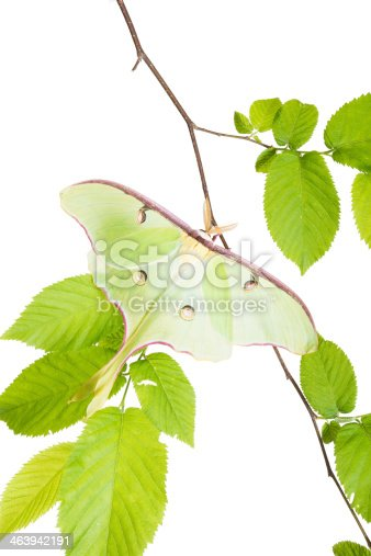 istock Delightful Luna Moth (Actias luna) beech branch isolated on white 463942191