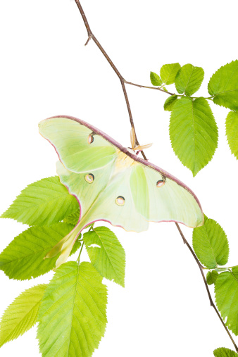 istock Delightful Luna Moth (Actias luna) beech branch isolated on white 463942191