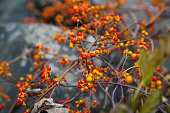Autumn, fall red wild berries grow on a bush with brown branches. The orange peel on the berries is cracked. The berries are very ripe, juicy and look amazing. Dried oak leaves stuck in the branches of a bush in the foreground. Large gray stones in the background out of focus. Colorful autumn, fall. New York Upstate