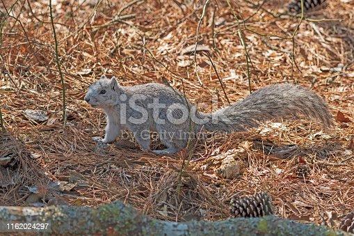 A Delmarva Fox Squirrel in the Forest in Chincoteague Island Wildlife Refuge in Virginia