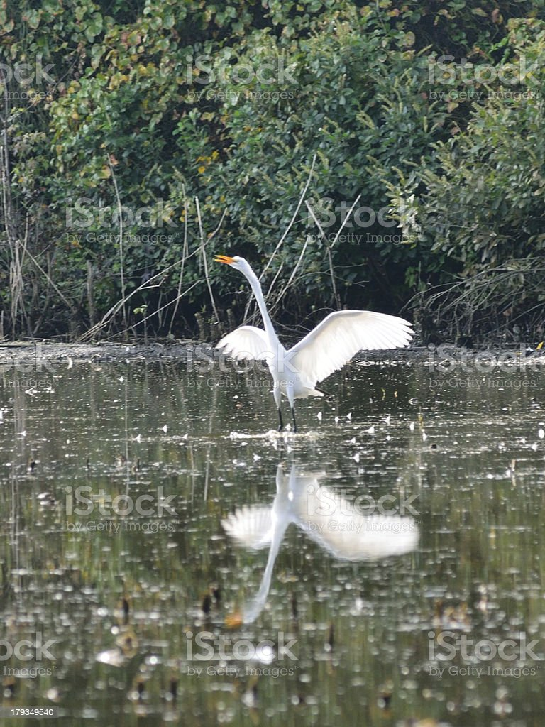 Delmarva  Great Egret Wing Stretch royalty-free stock photo