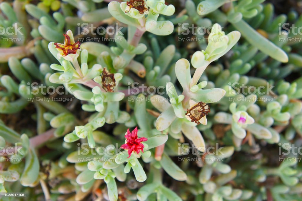 Delosperma Or Ice Plant Succulent Foliage Stock Photo Download Image Now Istock