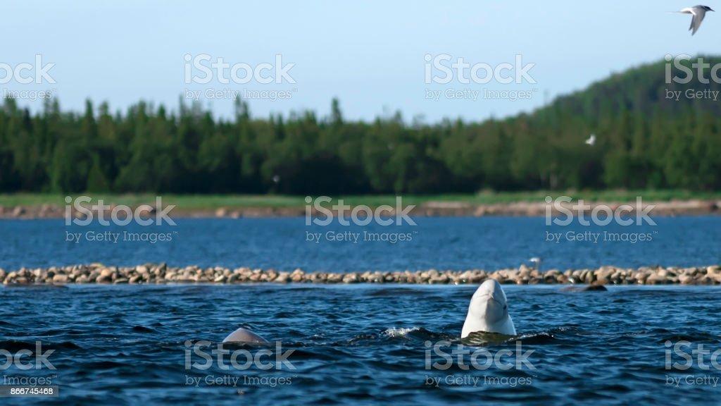 Delphinapterus leucas in wild nature stock photo