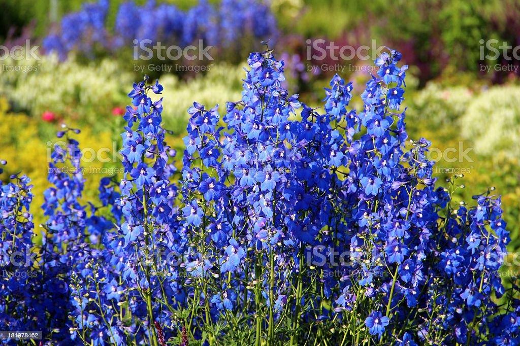 Delphinium blossoms - Hoher Rittersporn stock photo