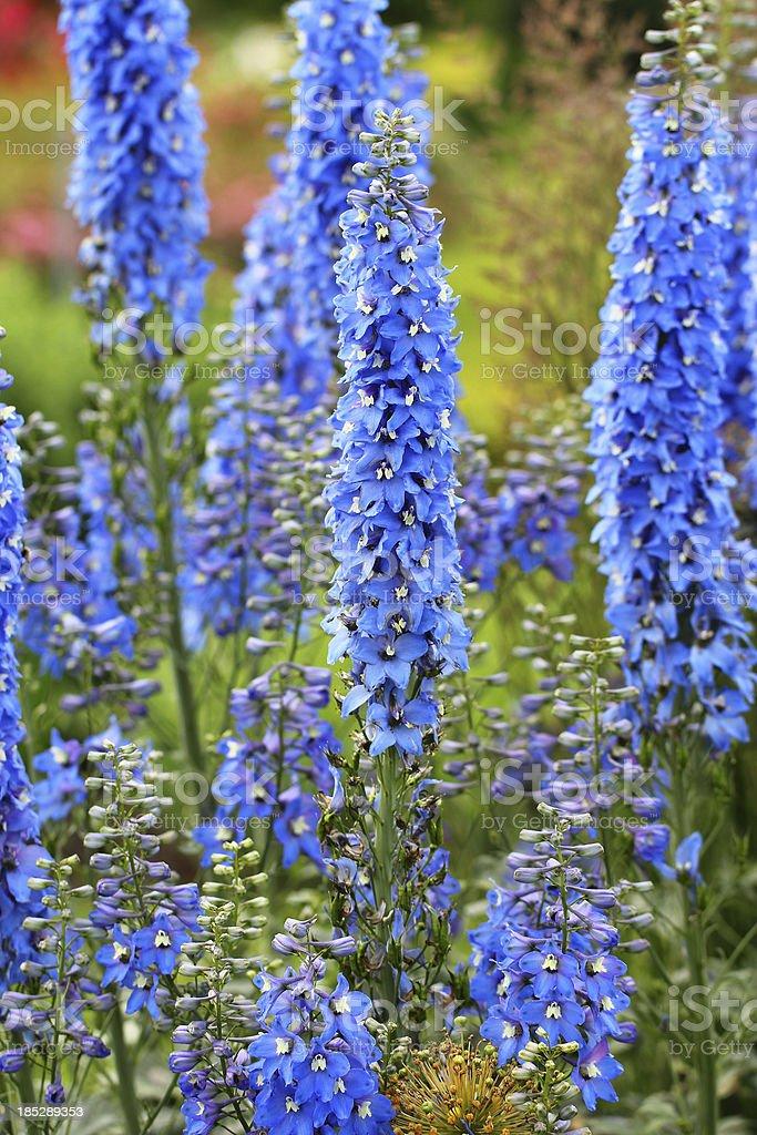 Delphinium - Blue delphiniums stock photo