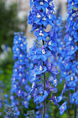 Delphinium cultorum benary's pacific blue bird flowers vertical