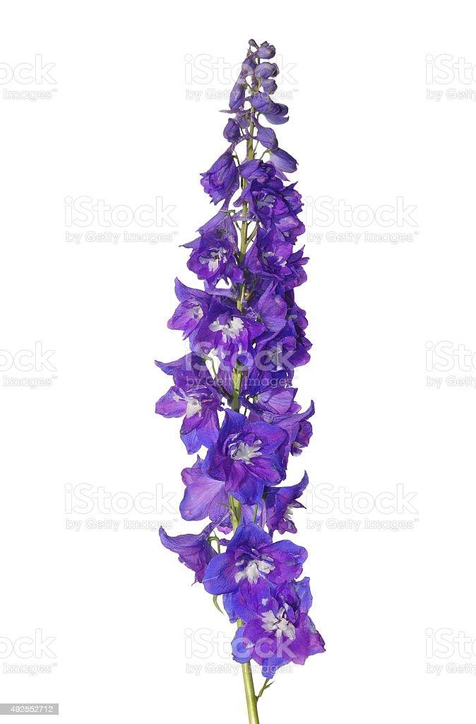 Delphinium flower stock photo