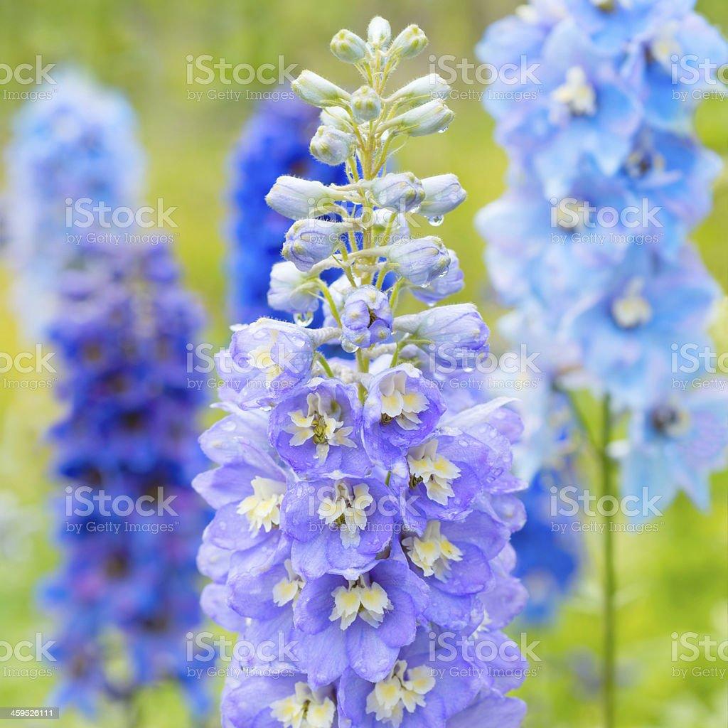 Delphinium flowers in nature stock photo