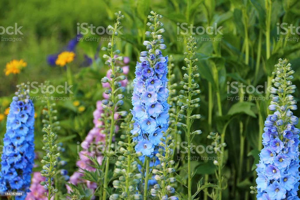 Delphinium flowers stock photo