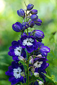 Delphinium in green natural setting, many species are cultivated as garden plants. Also nown as Larkspur