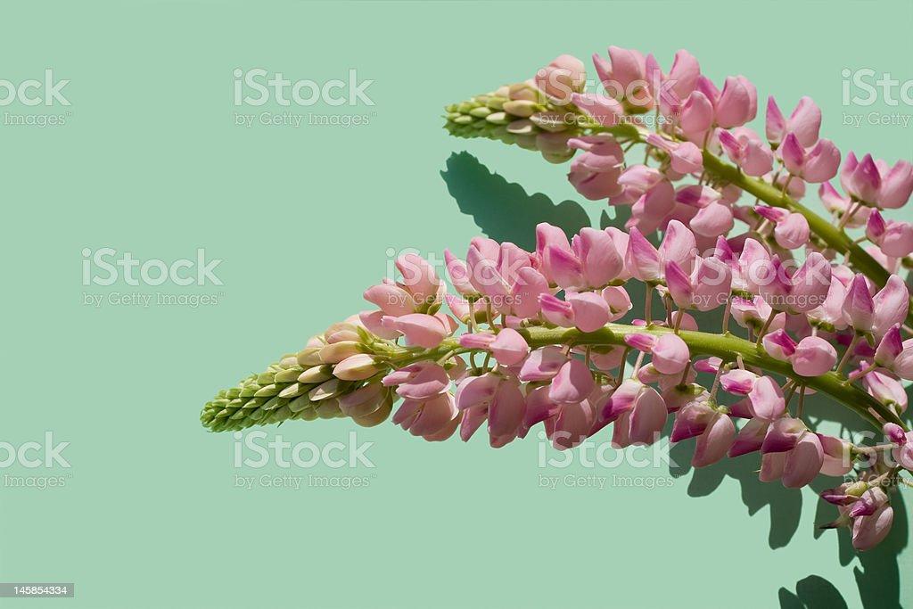 Delphinium royalty-free stock photo