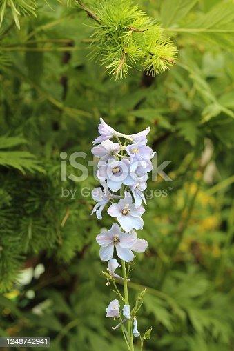 Light blue delphiniums growing in the back garden. Photo taken in South Derbyshire UK.  Taken in early June time.