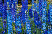 delphiniums in a summer garden, early morning