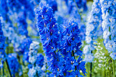 deep blue delphiniums, Montreal Botanical Garden, early morning in July