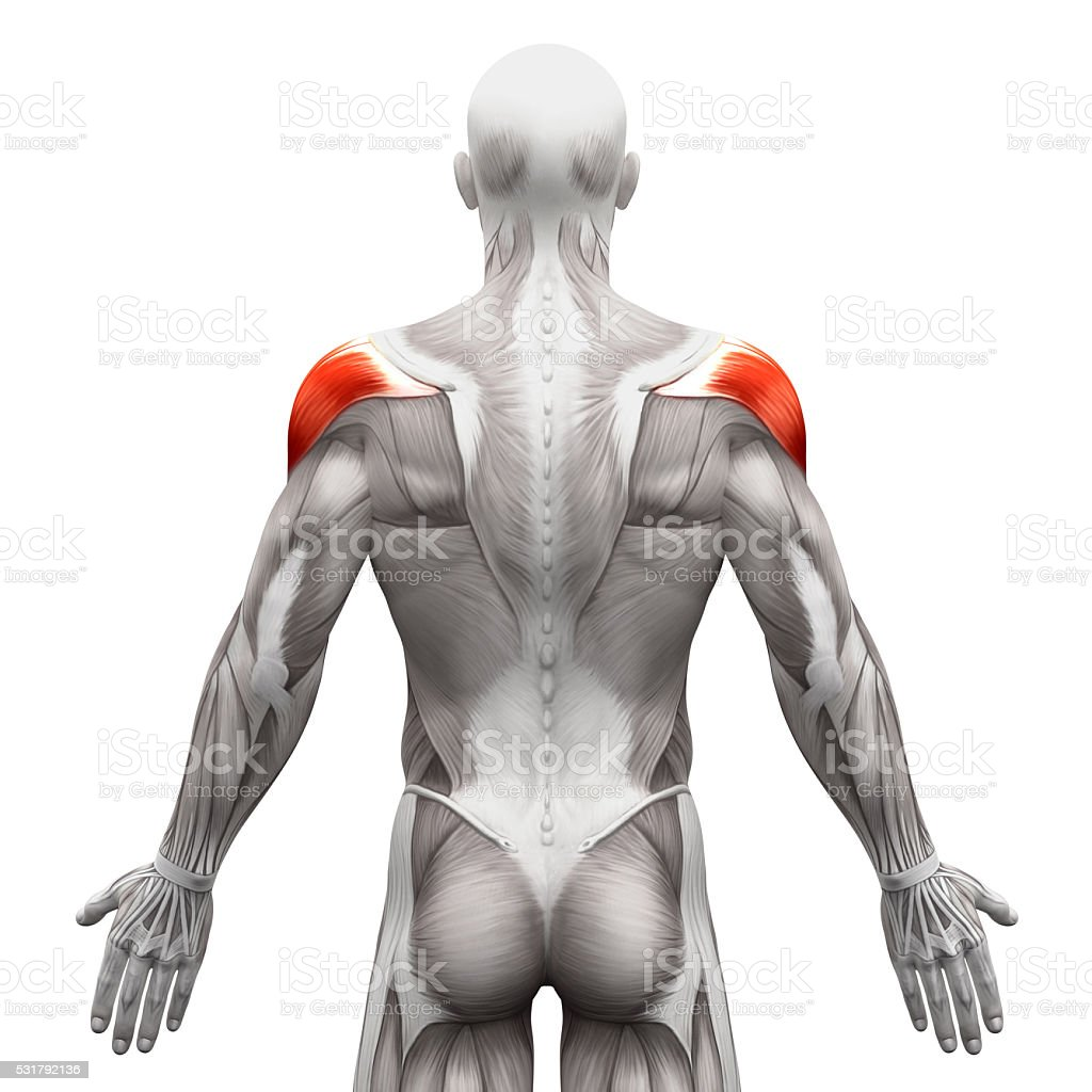 Deltoid Muscle Anatomy Muscles Isolated On White Stock Photo More