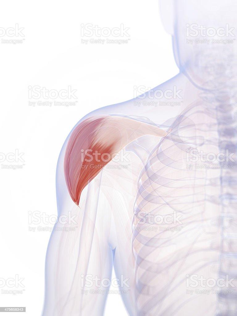 Deltamuskel Muskel Stock-Fotografie und mehr Bilder von Anatomie ...